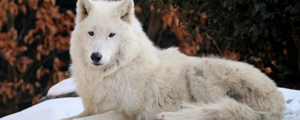 Wolf, Hudson Bay