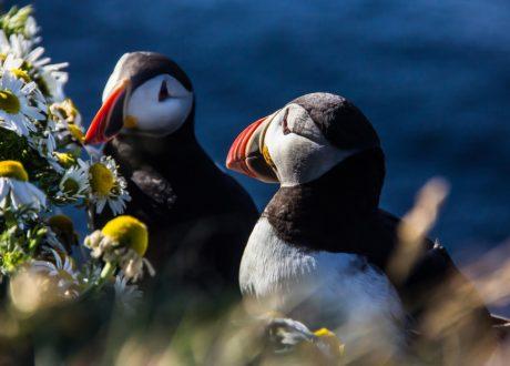 Papegaaiduikers, Westfjorden