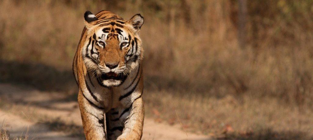 Kanha tijger