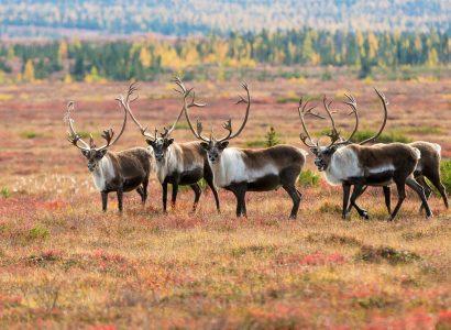 Overige wilde dieren in Canada