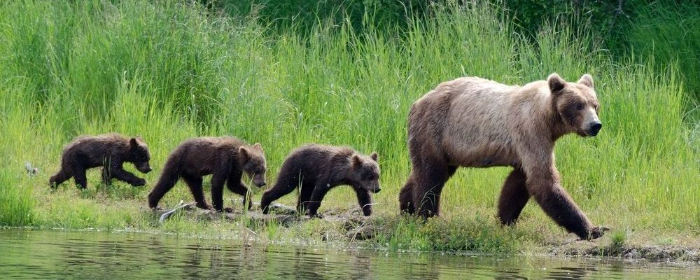 Grizzly beren in Brooks Falls