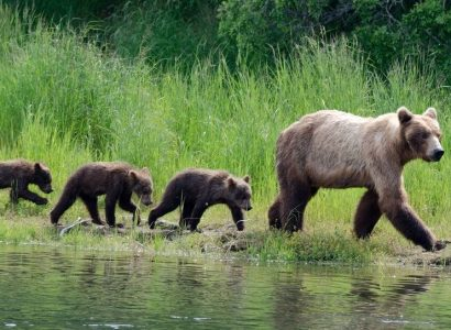 Katmai National Park, Grizzly beren in Brooks Falls