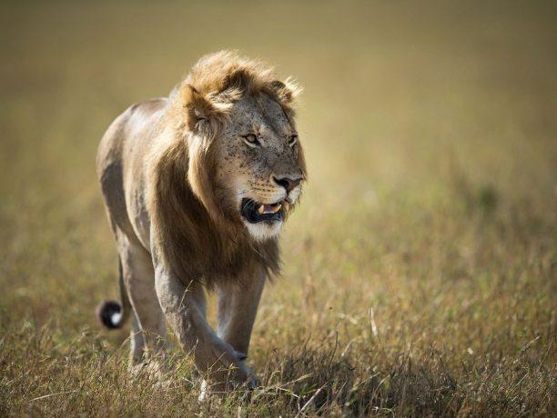Kenia - Masai Mara - Leeuw - Make it Kenya-Stuart Price