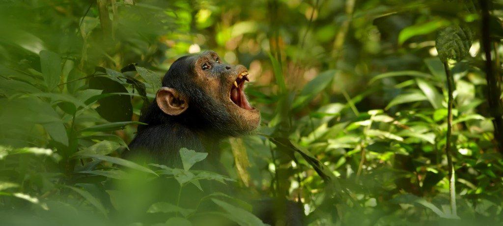 Chimpansee Kibale