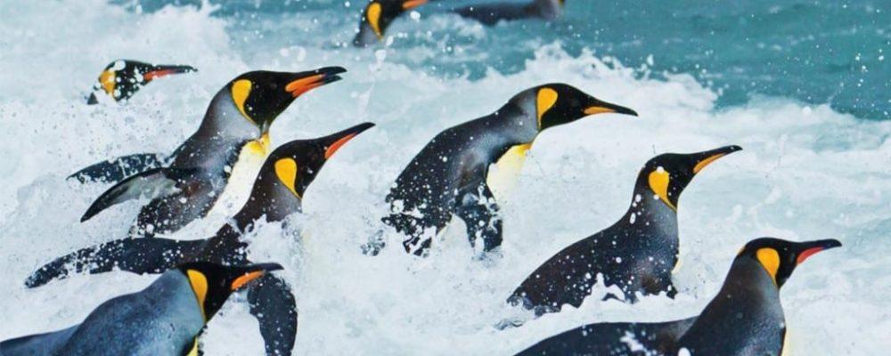 Koningspinguins Antarctica