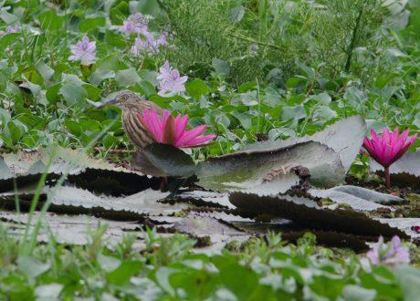 Kumarakom Bird Sanctuary. Foto: © Ashwin Kumar