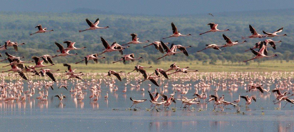Lake Manyara flamingo's