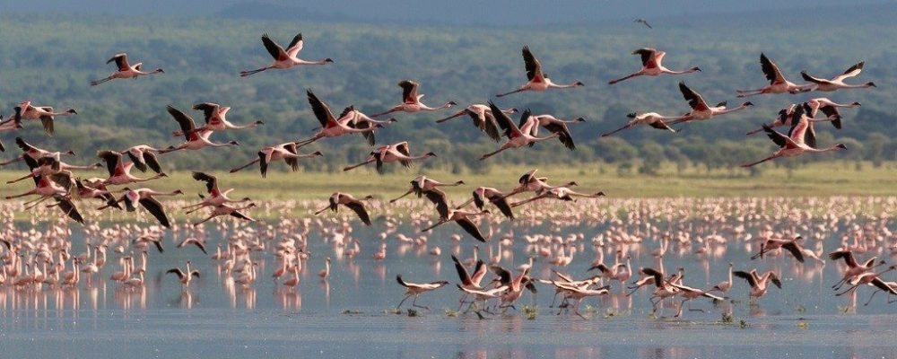 Lake Manyara flamingo's