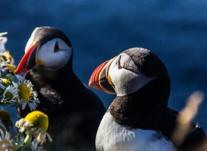 Papegaaiduikers IJsland
