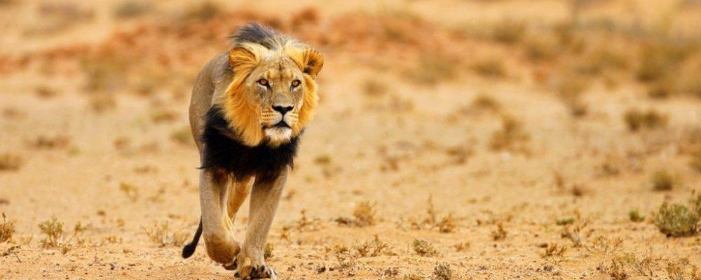 Leeuw(1)