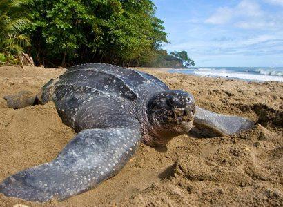 Lederschildpad