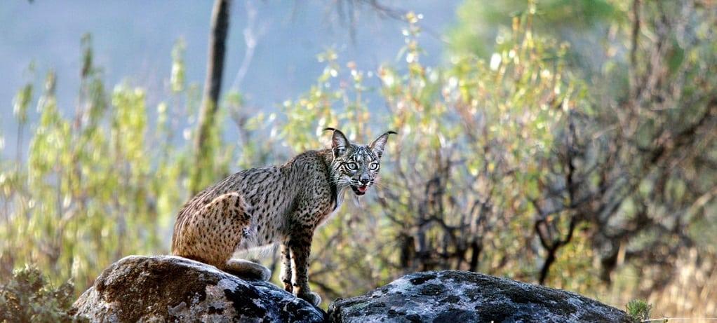 Lynx in Sierra Monera