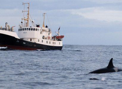 Snorkelen met orka's per schip in Tromsø