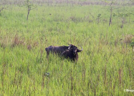 Waterbuffel in Manas National Park