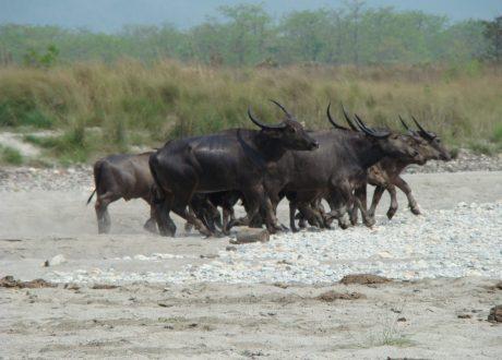 Waterbuffels in Manas National Park