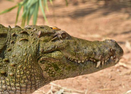 Moeras krokodil