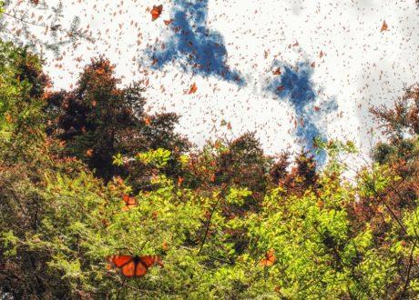 Monarchvlinderreis, Mexico