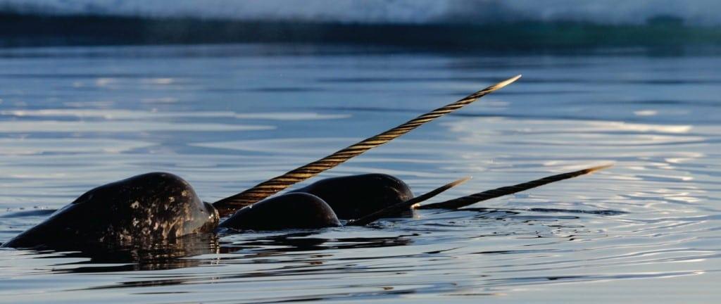 Narwal walvissen spotten