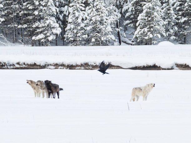 Yellowstone Wolvenreis