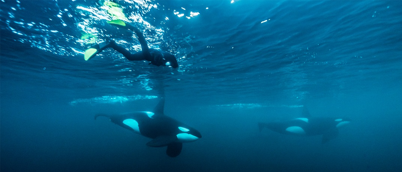 Zwemmen met orka
