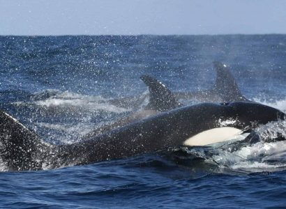 Orka spotten in IJsland, Activiteiten West IJsland, Wildlife spotten in IJsland