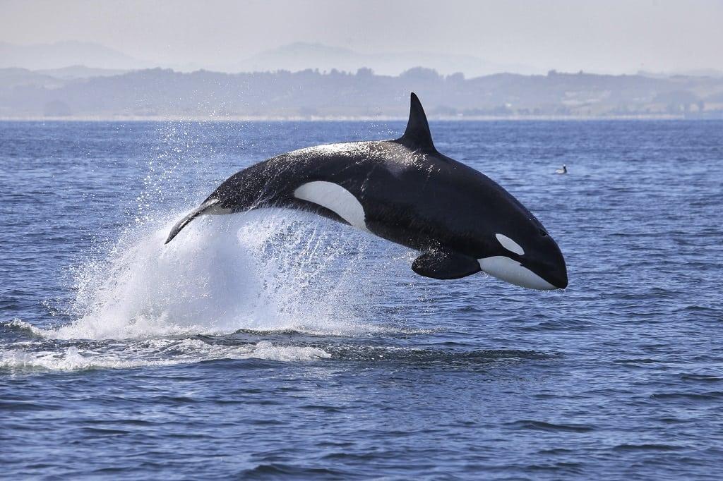 Orca, Canada