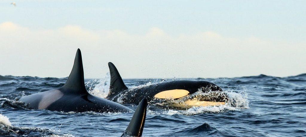 Snorkelen met orka's
