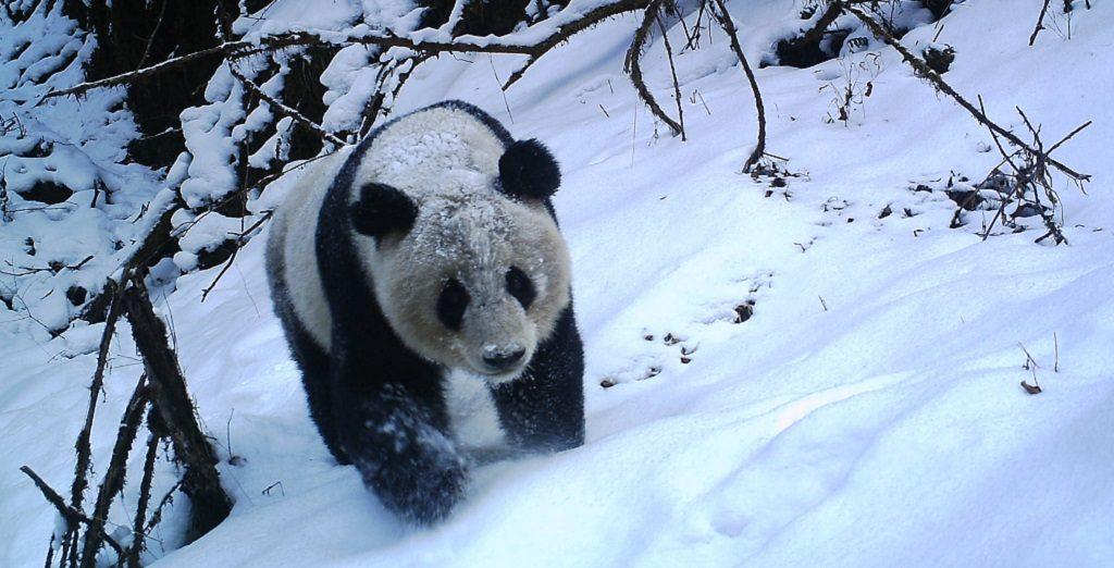 Игровой автомат Untamed Giant Panda (Дикая Большая Панда) в онлайн казино WheelSlots Лучше игровые аппараты и слоты абсолютно бесплатно!