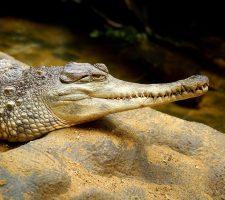 Pantser krokodil - Martin Pettitt