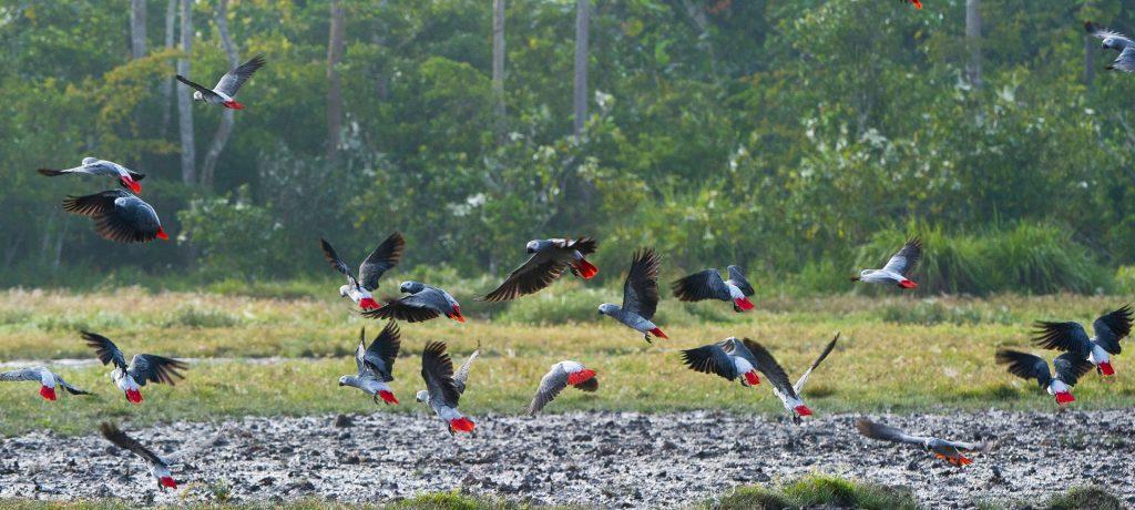 Odzala National Park Grijze roodstaart papegaaien