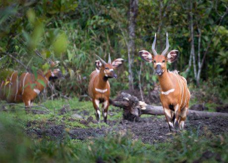 Odzala National Park bongo