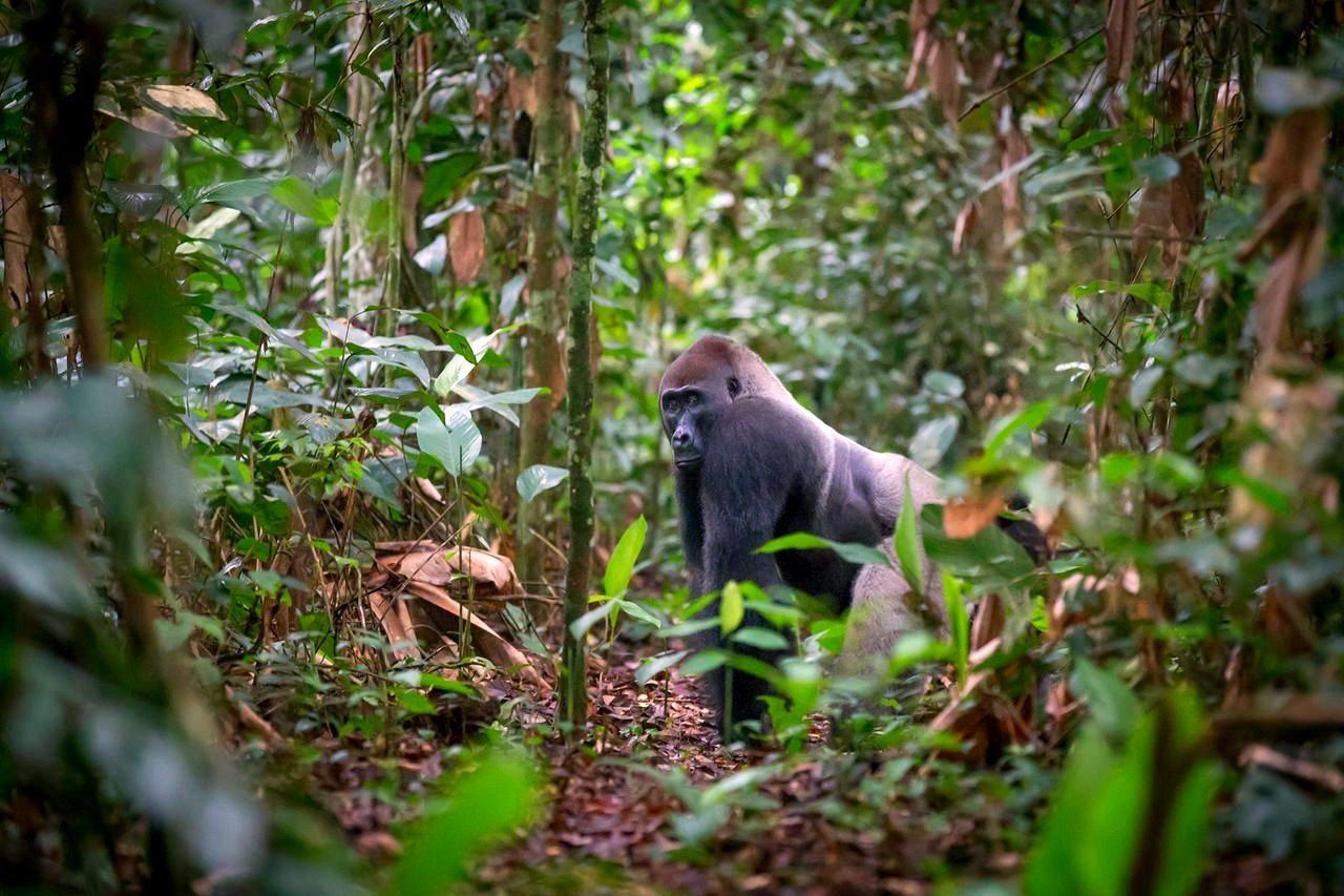 Odzala National Park laagland gorilla, natuurreizen Congo