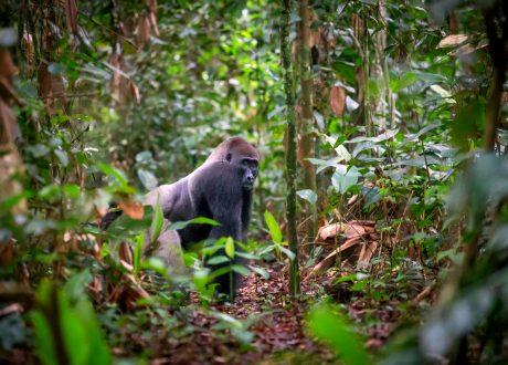 Odzala National Park laagland gorilla