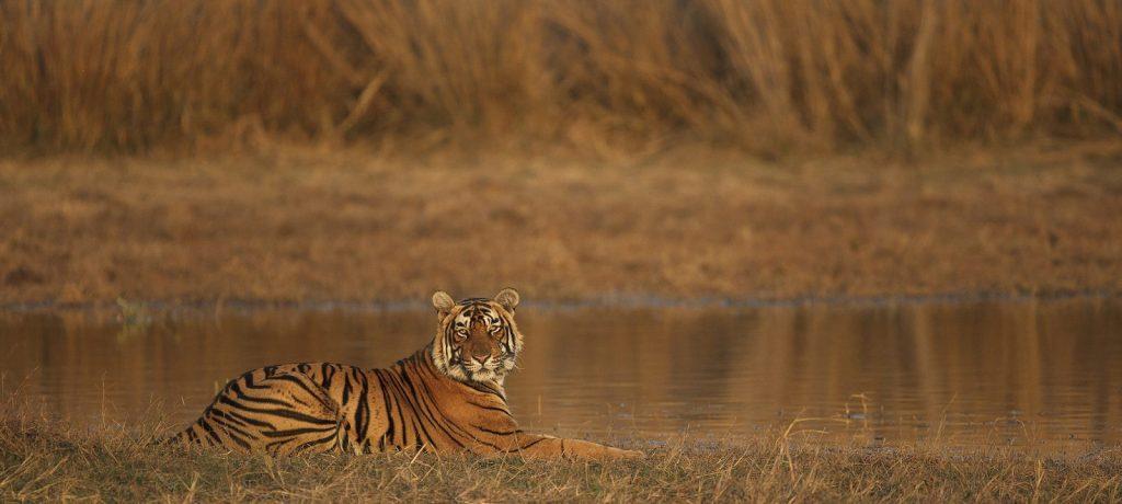 Bengaalse tijger in Ranthambore National Park
