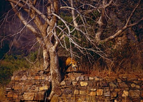 Bengaalse tijger in Ranthambore National Park