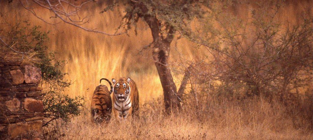 Bengaalse tijgers in Ranthambore National Park