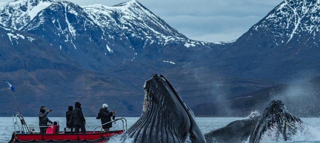 Noord Noorwegen, Bultruggen en andere walvissen, Lyngenfjord, Skjervoy Noorwegen
