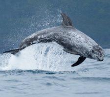Risso dolfijn