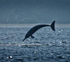 Rivier dolfijn