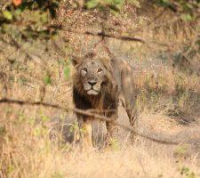 Perzische leeuw, Sasan Gir National Park
