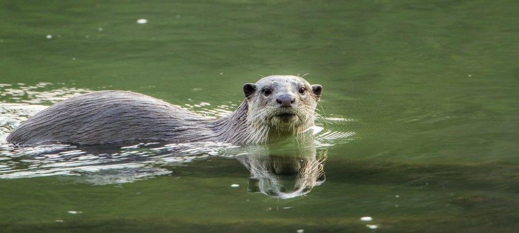 Slanke otter