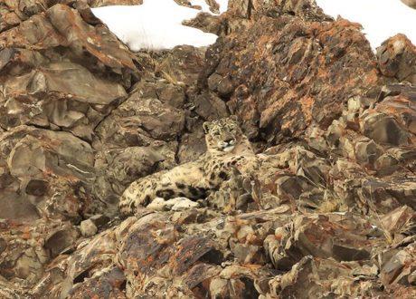 Snowleopard Expeditie