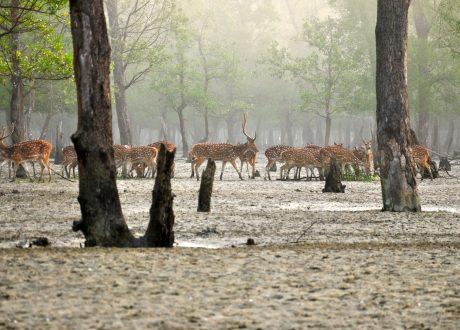 Axisherten, Sundarbans National Park