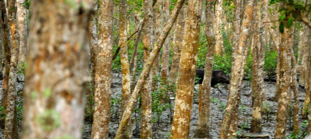Wild zwijn, Sundarbans National Park