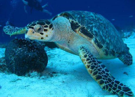 Turtle Snorkeling