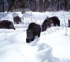Ussuri-wild-Boar-1