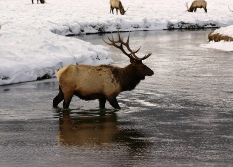 Wolven en Wildlife in Yellowstone