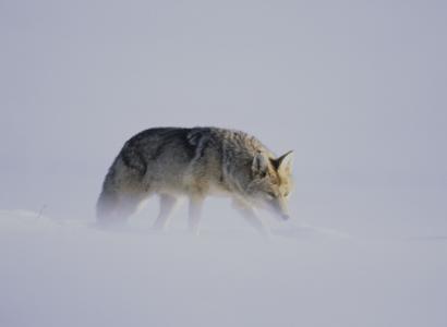 Wildlife en natuur Amerika, Fotoreis op zoek naar wolven in Yellowstone