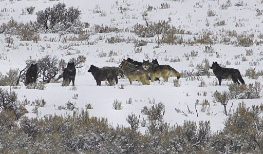 Fotoreis op zoek naar wolven in Yellowstone