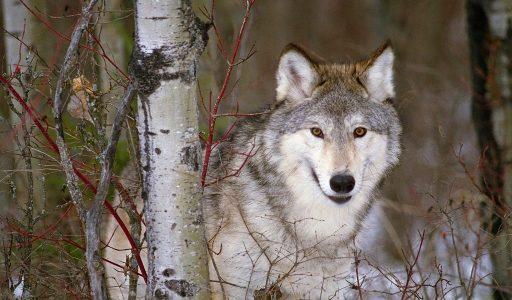 Wolven en Wildlife in Yellowstone